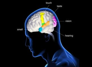Facts about human brain and senses