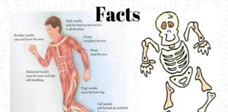 facts about human bones, skeleton and muscles