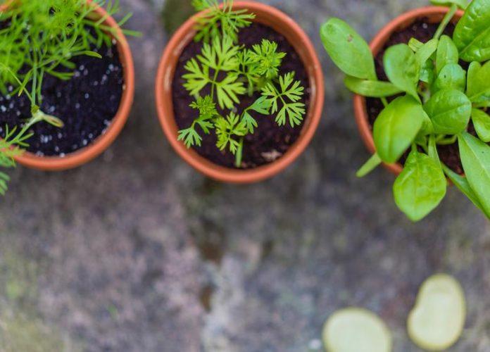 Top 10 Effective Mosquito Repellent Plants